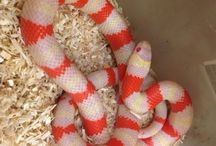 Milk Snakes / For our full selection of Milk Snakes visit: http://bhb-reptiles.myshopify.com/collections/milk-snakes
