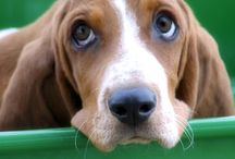 Love Beagles and Basset Hounds