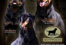 Canil Von Bekman / Excelência em criação de Rottweiler
