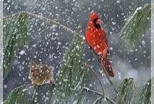 Red Cardinals <3