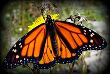 mariposa monarca (monarch butterfly)