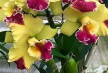 orcide plants variatie
