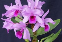 Our Orchids / These are orchids from our catalogue. See all our offerings on our site at http://www.sloorchids.com/oscommerce/catalog/