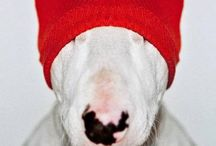 Bullterrier love