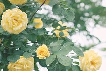 Rose / バラ