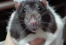 Rattatouile
