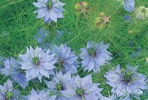 ~ Flowers Love in a mist ~