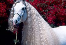 White & Andalusian horses