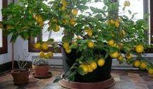 evde limon agaci