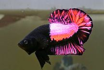 betta spendens Zuchtformen