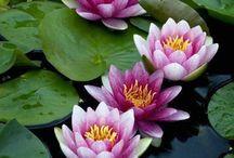 flores de lotús