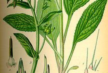 Grüne Soße botanische Illustrationen