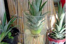 Plantes / Ananas
