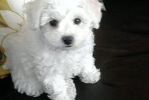 Bichon / by Kim