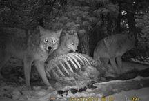 Predator-Prey Ecology