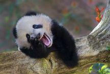 panda's / by Betty Buckley