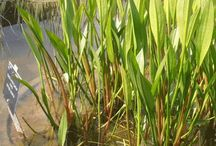 Pond Vegetation Plants