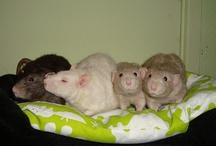 Rats @ RBCM & The Rat Retreat Holland
