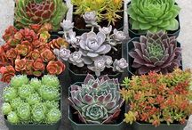 Gardening:  Succulents Outdoors