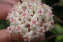 aloha hoya  / Hoya is a subtropical vines with the most beautiful flowers ... enjoy!