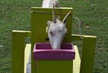 Keeping Goats