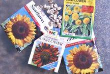 Growing - Sunflower