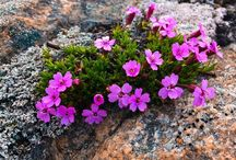 My Photography Arctic Flowers in Greenland