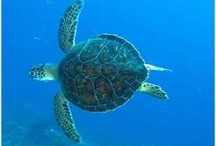 Hawksbill Sea Turtle & Marine Life