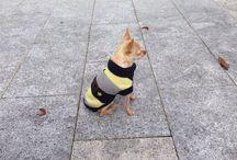 CHIHUAHUA / Mi perro. TORETTO