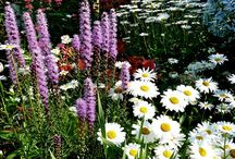 Liatris Combinations / Plant partnerships that include blazing stars (also known as gayfeathers)