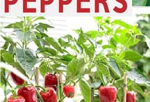 ❀ Growing Peppers