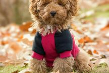CURRY ( RED TOY POODLE )