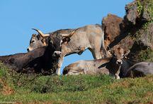 Vacas tudancas en Cabarceno, Cantabria, Spain