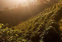 Cafezal | Coffee Farms