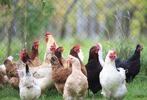 Nutrafarms Inc. poultry