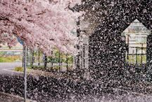 Cherry Blossoms.....@_@