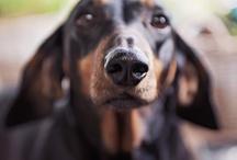 Dachshund photography / Hudson & Bischmark dachshund