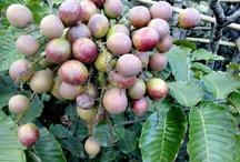 ABC's of Sapindaceae / Also known as the soapberry family, includes lychee, rambutan, longan, pitomba, quinip, mamoncilo, korlan, pulasan, ackee & matoa / by Isye Whiting