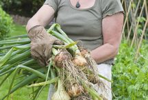 Don't Cry For Me / Tear-free onion preparation we can't guarantee - how to grow the most flavorful onion plants we can.