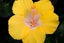 Hibiscus / All sorts of photos and art about hibiscus and other members of the mallow family