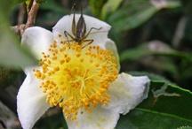 Darjeeling Tea Estates and Gardens