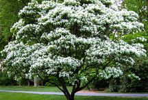Other Flowering Trees