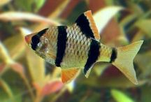 Sweetwater species