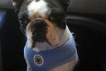 my boston terrier oscar