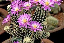 kaktus cesitleri