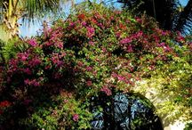 Bougainvillea / This iconic flowering plant found in the outdoors in the South (and indoors elsewhere) is quite special.