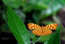Wavy Maplets butterflies