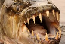 TIGERFISH / Fly fishing for tigerfish.  Tigerfish on the fly.