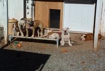 American Bulldog / Celebrating American bulldogs / by Kuranda Dog Beds
