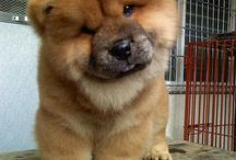 I Love My Chow Chow